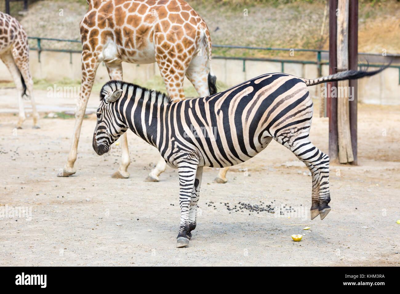 Giraffe Zebra Zoo Stock Photos Amp Giraffe Zebra Zoo Stock