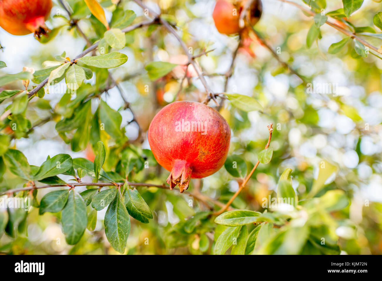 Pomegranate Trees Stock Photos Amp Pomegranate Trees Stock
