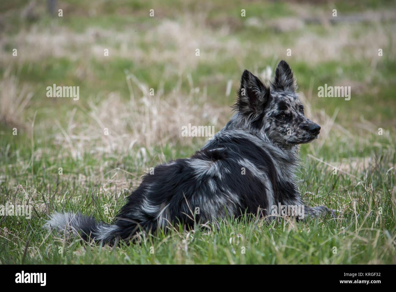 Collie Border Shepherd Mix Australian Queensland