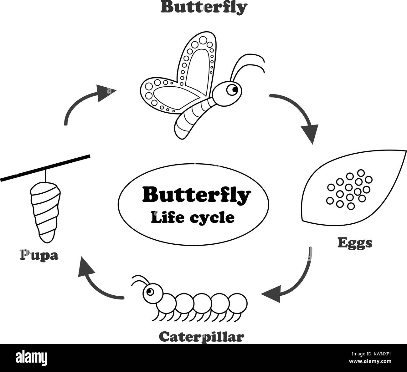 Butterfly Life Cycle In Outline Style For Coloring