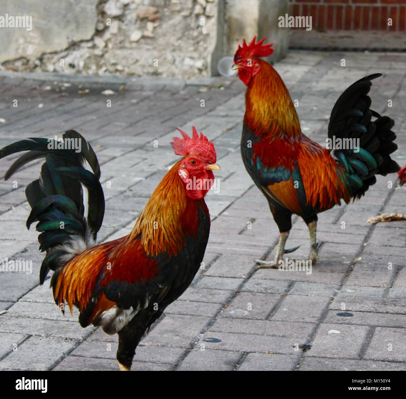 Wild Roosters Wallpaper