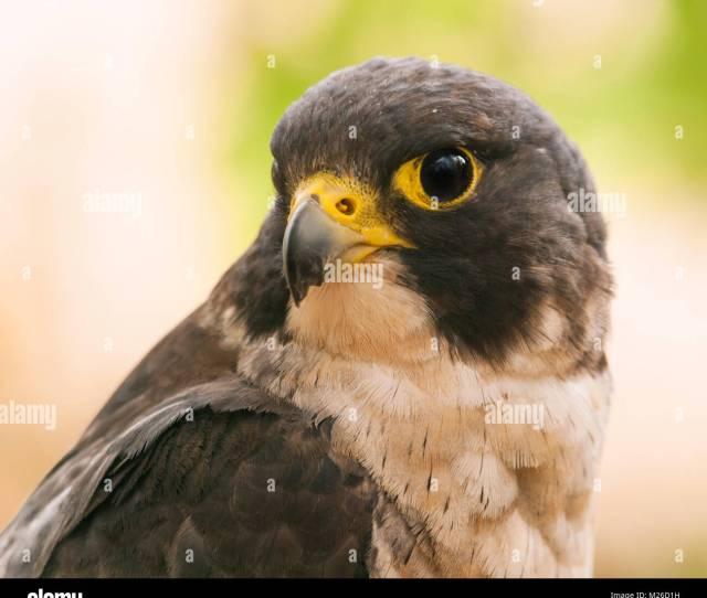 Head Of Peregrine Falcon Falco Peregrinus Fastest Animal In The World
