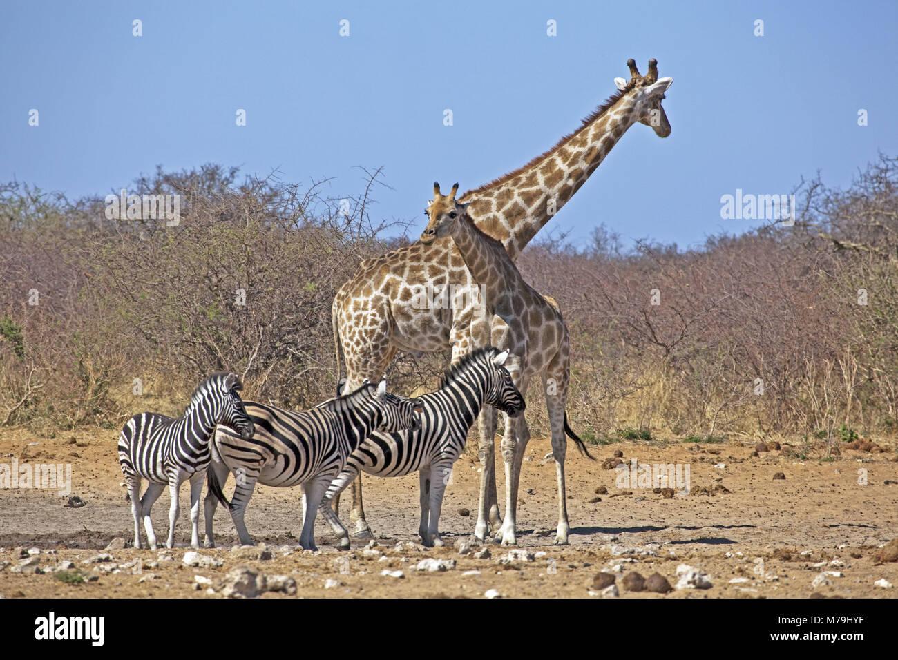 Giraffes Namibia Southern Africa Africa Stock Photos