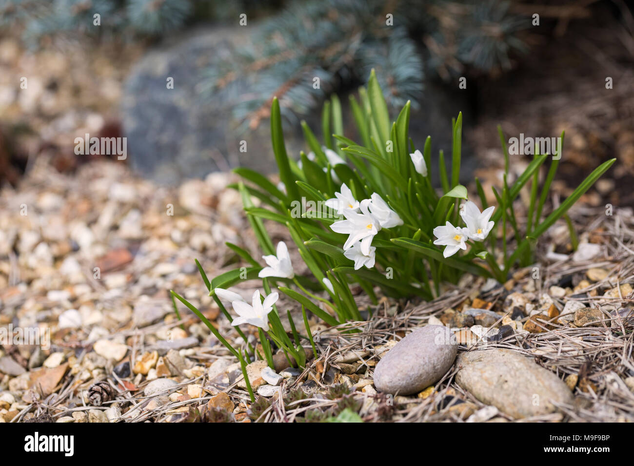 Close Up Of A Small White Flowering Rockery Spring Plant Uk Stock