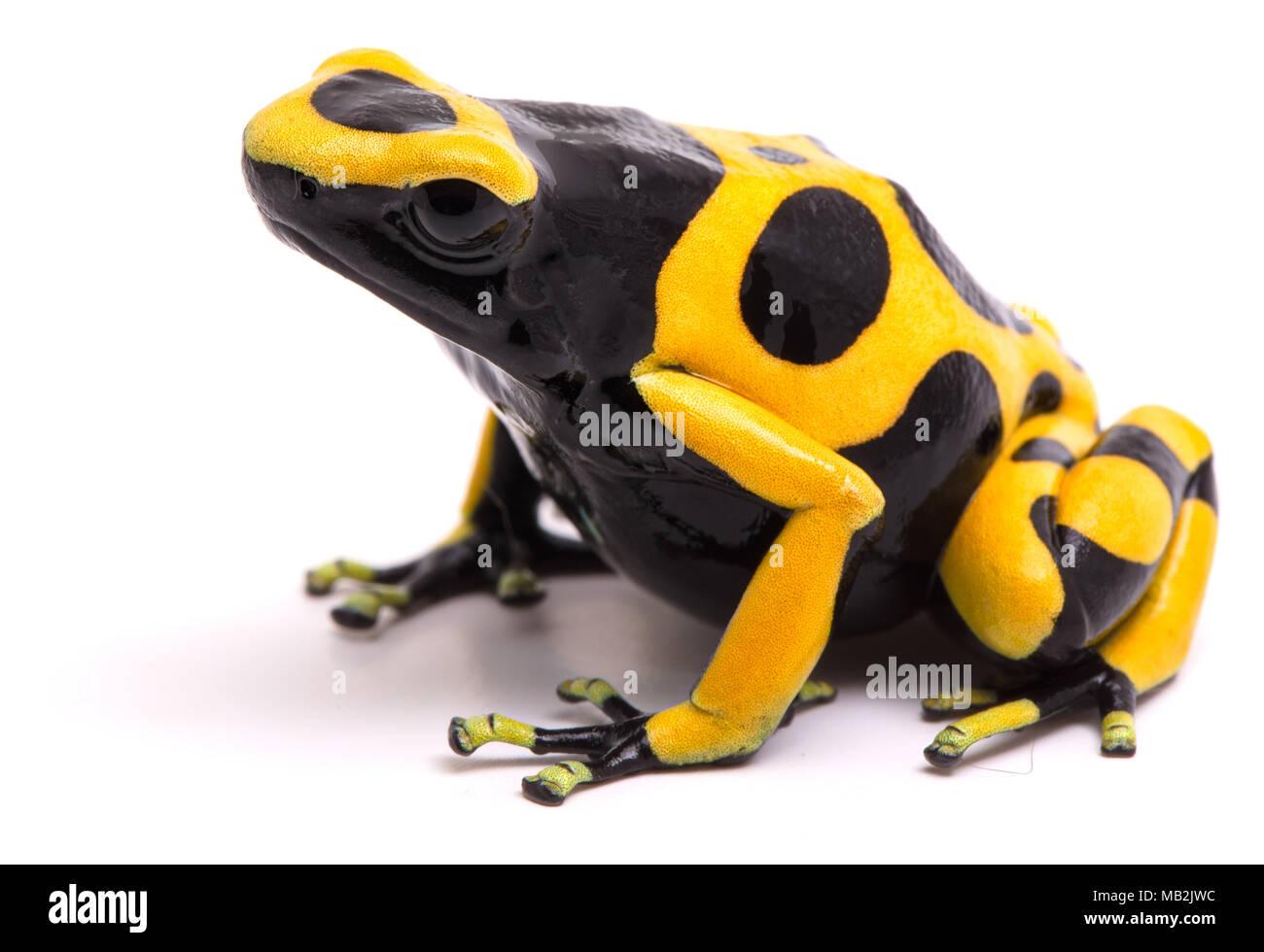 Venezuela Frog Stock Photos Amp Venezuela Frog Stock Images