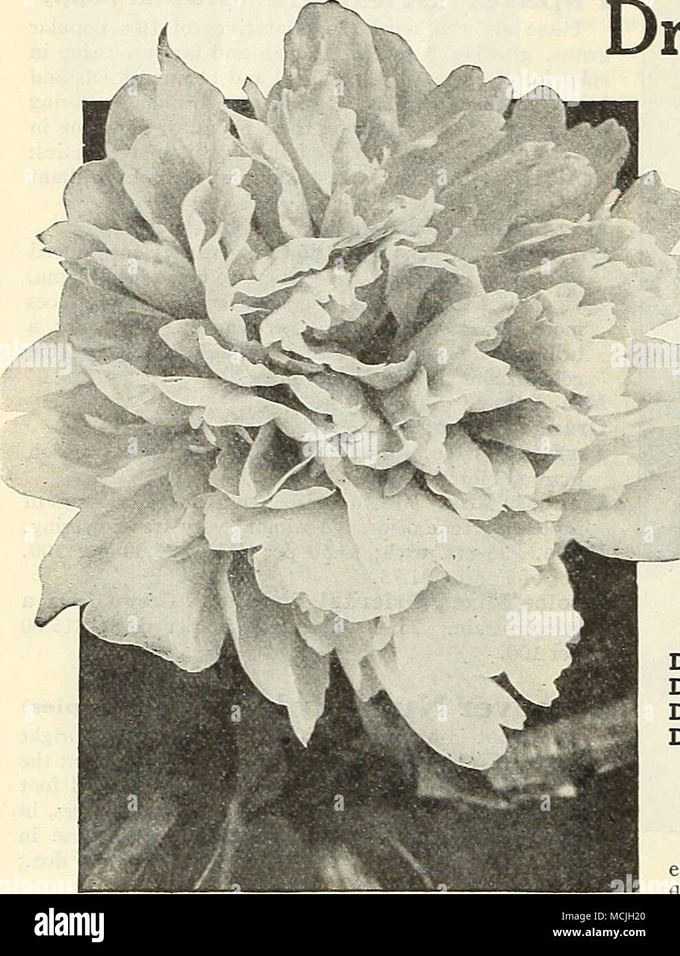 Double Herbaceous Peony Dreer S Fragrant Peonies The