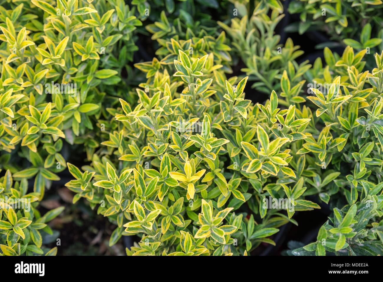Winter Creeper Euonymus Fortunei Stock Photos Winter Creeper