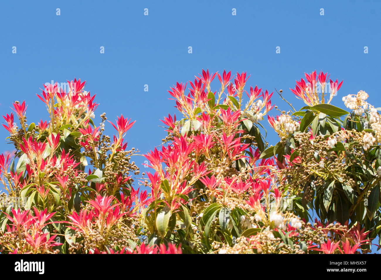Flowers Red New Leaves Pieris Stock Photos Flowers Red New