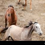 Two Wild Horses Running In A Stable Stock Photo Alamy