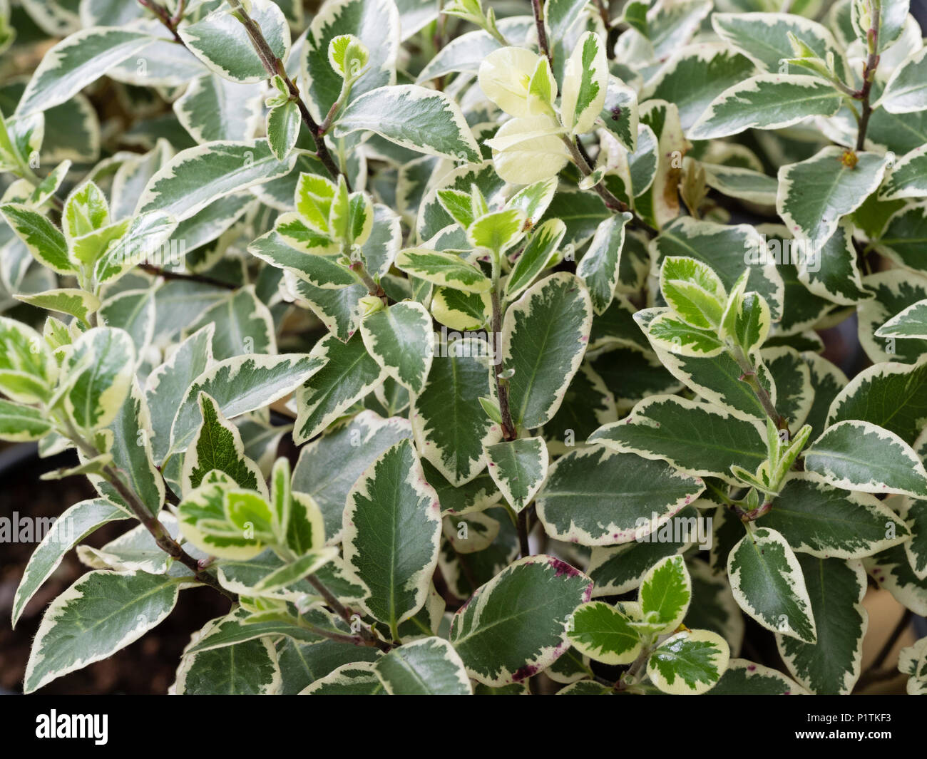 Variegated Pittosporum Stock Photos Variegated Pittosporum Stock