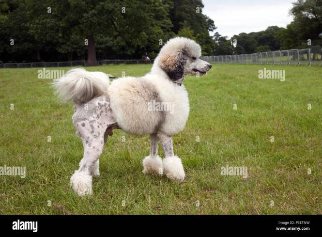 Poodle Haircuts Photos The Best Haircut Of 2018