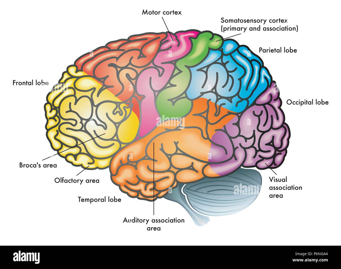 Vector Medical Colorful Illustration Of A Human Brain With