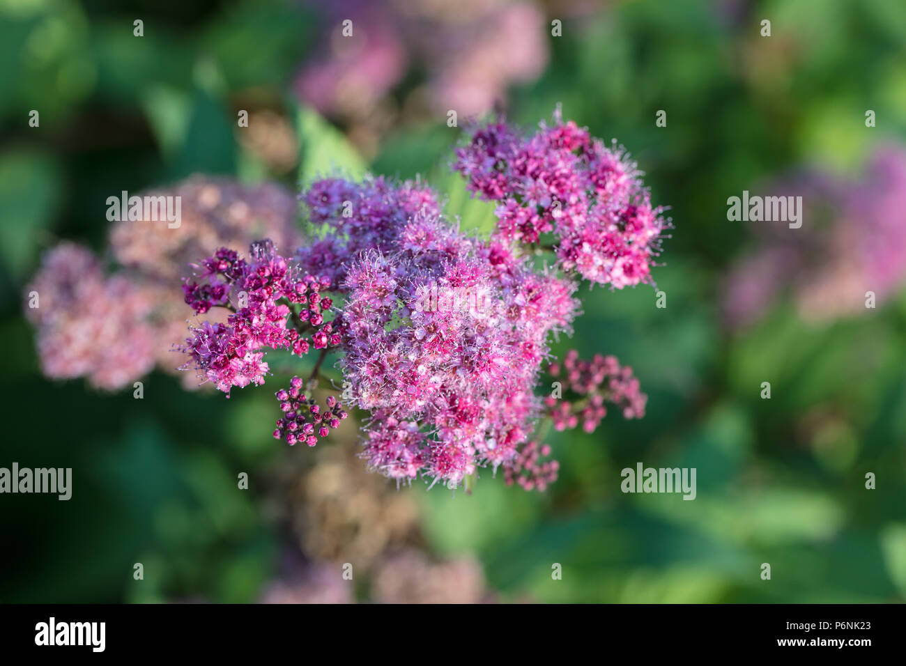 Spiraea Bumalda Stock Photos Spiraea Bumalda Stock Images Alamy