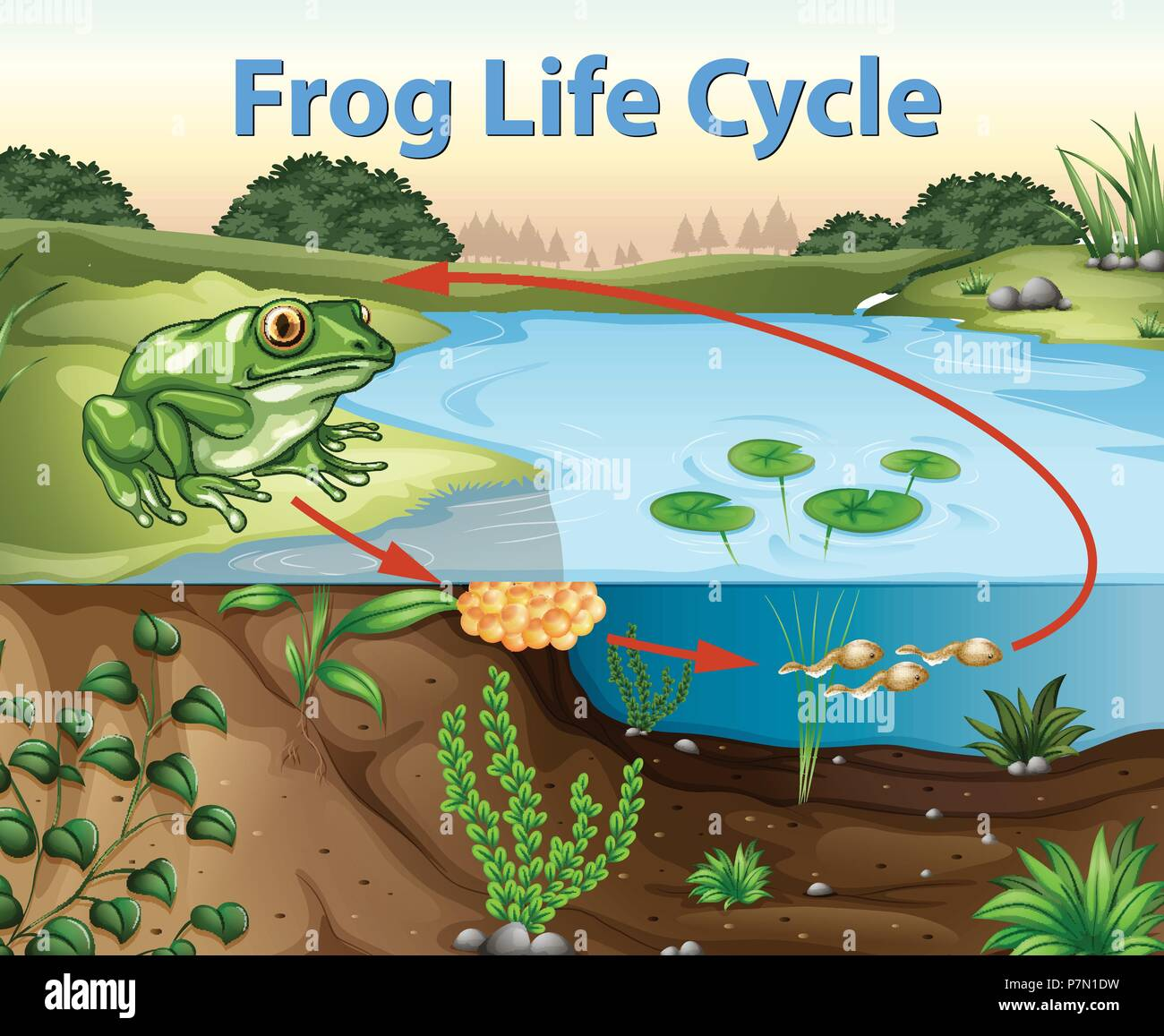 Science Of Frog Life Cycle Illustration Stock Vector Art