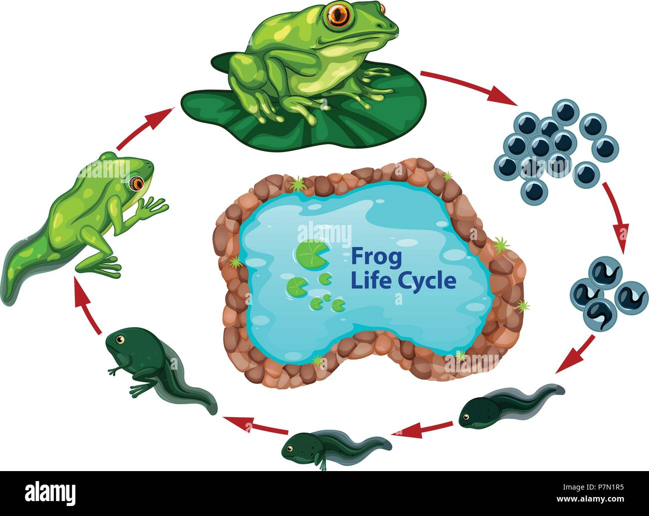 The Frog Life Cycle Illustration Stock Vector Art