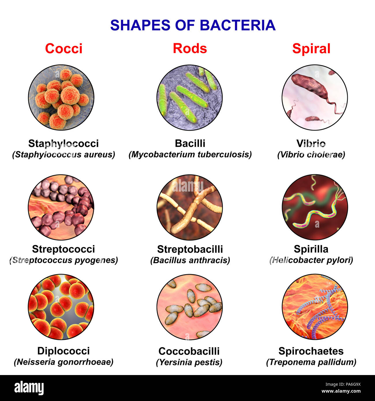Bacteria Of Different Shapes Computer Illustration