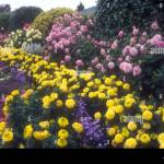 Large Blue Mountains Garden Featuring A Garden Bed Of Pink Dahlia Flowers Yellow Marigolds Tagetes And Other Smaller Assorted Plants Australia Stock Photo Alamy