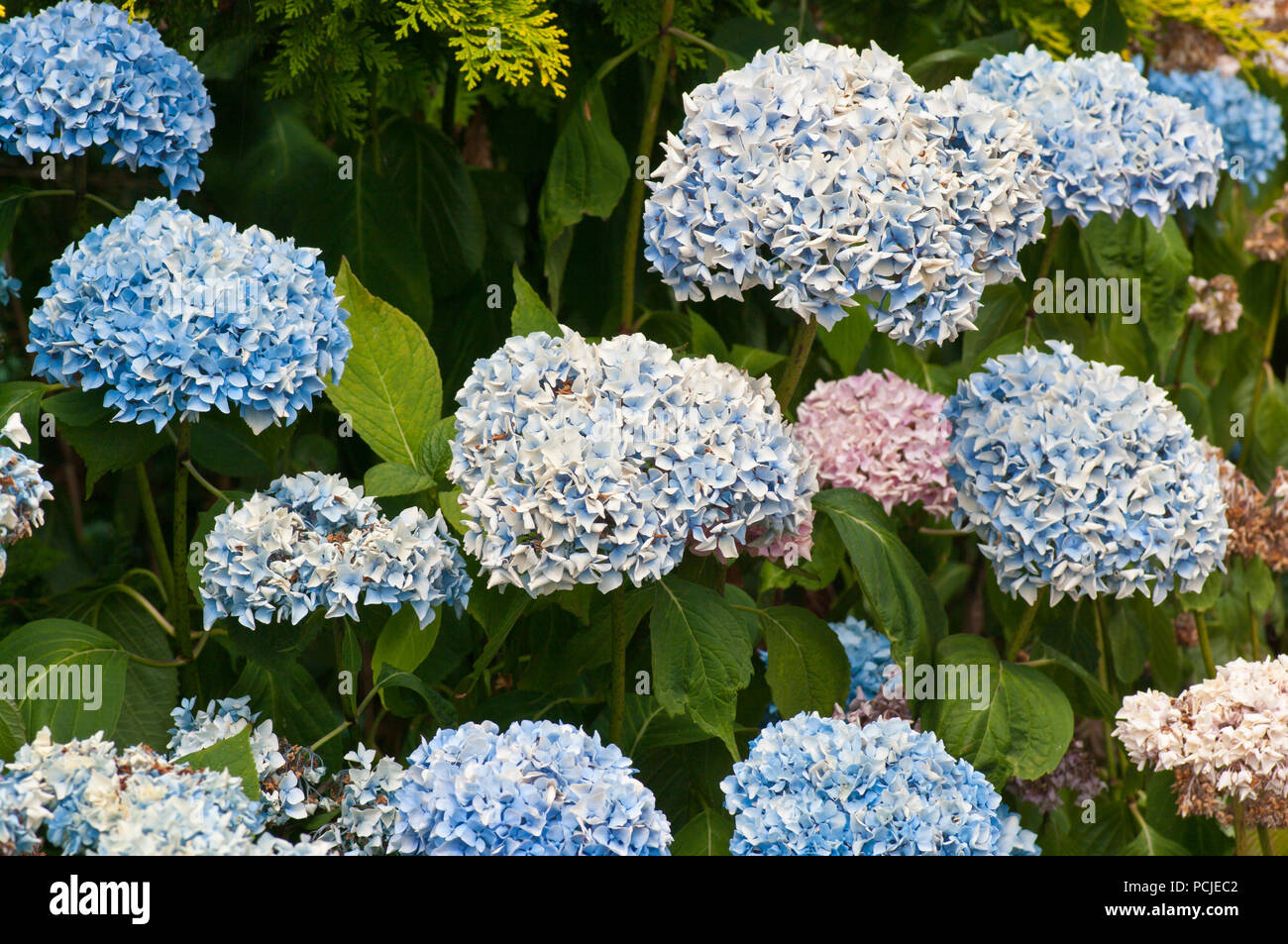 Hydrangea Flower Heads Stock Photos Hydrangea Flower Heads Stock
