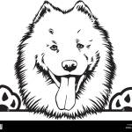 Samoyed Dog Breed Pet Puppy Isolated Head Face Stock Vector Image Art Alamy