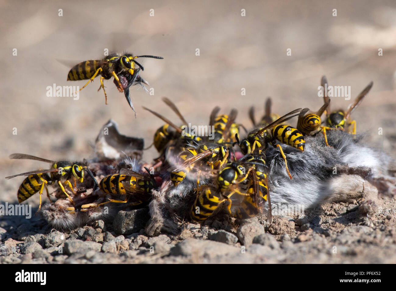 Collection Where Do Yellow Jackets Live Pictures Best