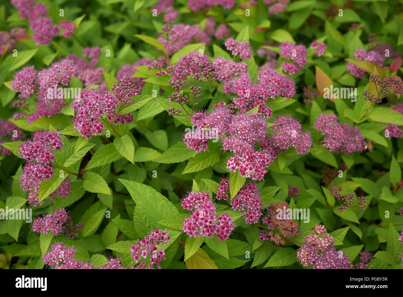 Spiraea Bumalda Stock Photo 216621659 Alamy