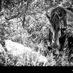 Wild Horse In A Forest Black And White Stock Photo Alamy