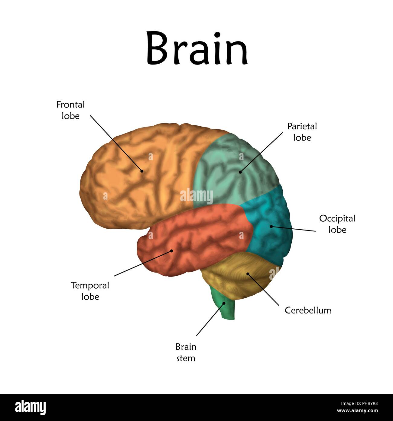 Human Brain With Labels Illustration Stock Photo