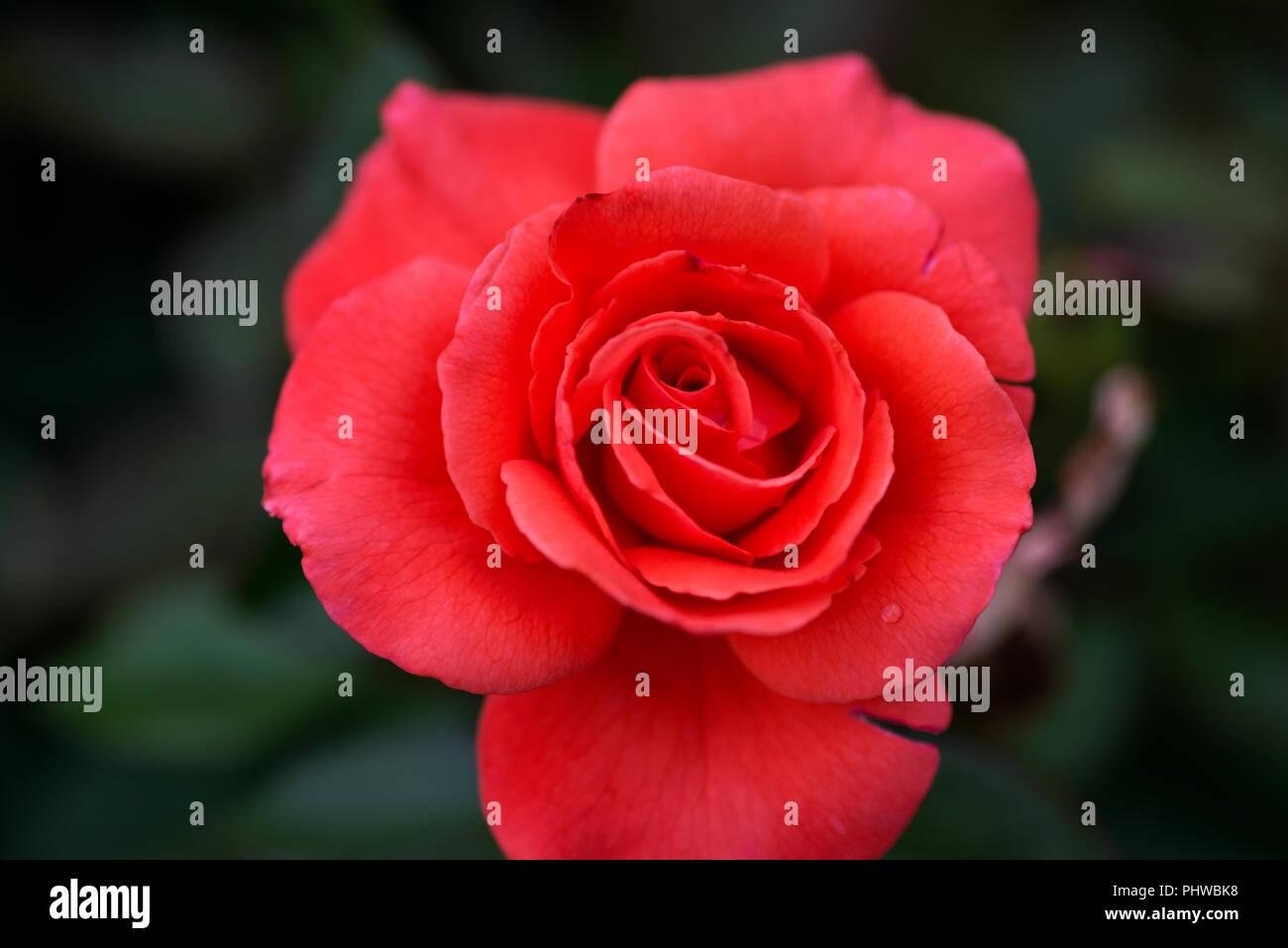 Cultivar Bouquet Rose Stock Photos Cultivar Bouquet Rose Stock