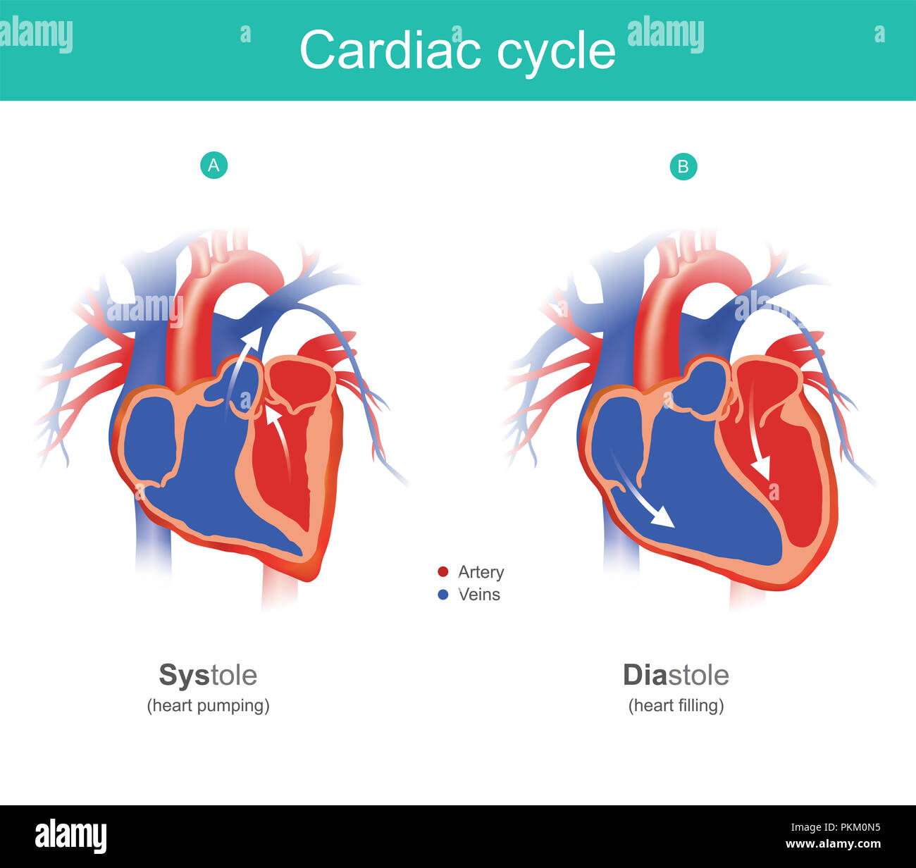The Heart Is The Organ Of The Human Body That Pumps Blood