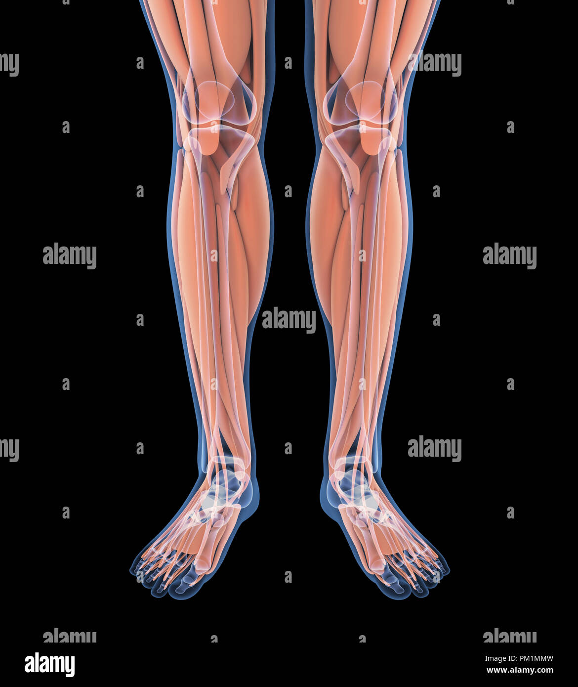 Muscular System Stock Photos Amp Muscular System Stock