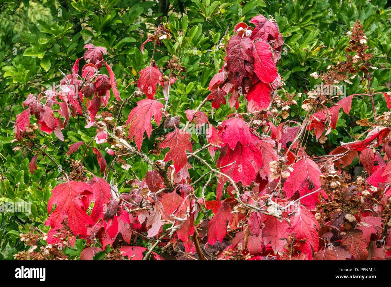 Hydrangea Autumn Leaves Stock Photos Hydrangea Autumn Leaves
