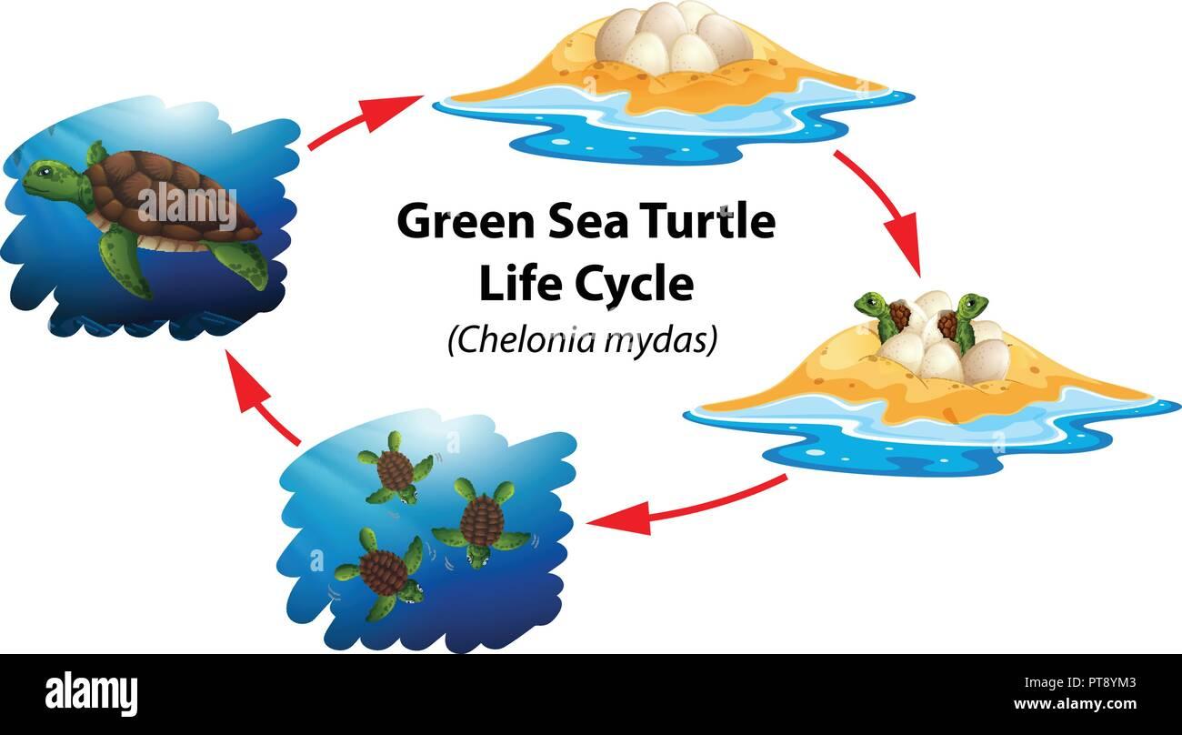 Green Sea Turtle Life Cycle Illustration Stock Vector Art Amp Illustration Vector Image