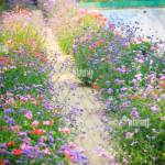 Stone Pavement With Purple Rows Of Verbena Flowering Bushes In The Flower Garden Red And Violet Flowers Path For Background Stock Photo Alamy