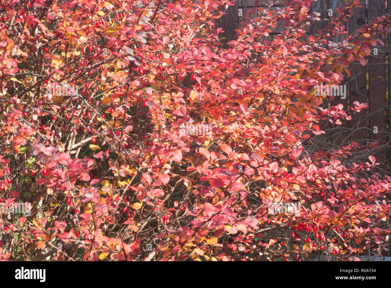 Berberis Barberry Evergreen Shrub Red Leaves On Sunny Autumn