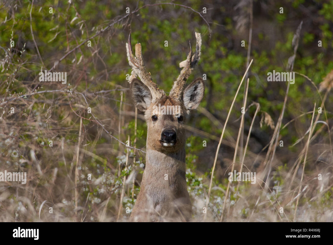 Ravine Deer Stock Photos Amp Ravine Deer Stock Images Alamy