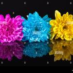Yellow Blue And Pink Chrysanthemum Flowers On Black Background Reflection Close Up Stock Photo Alamy