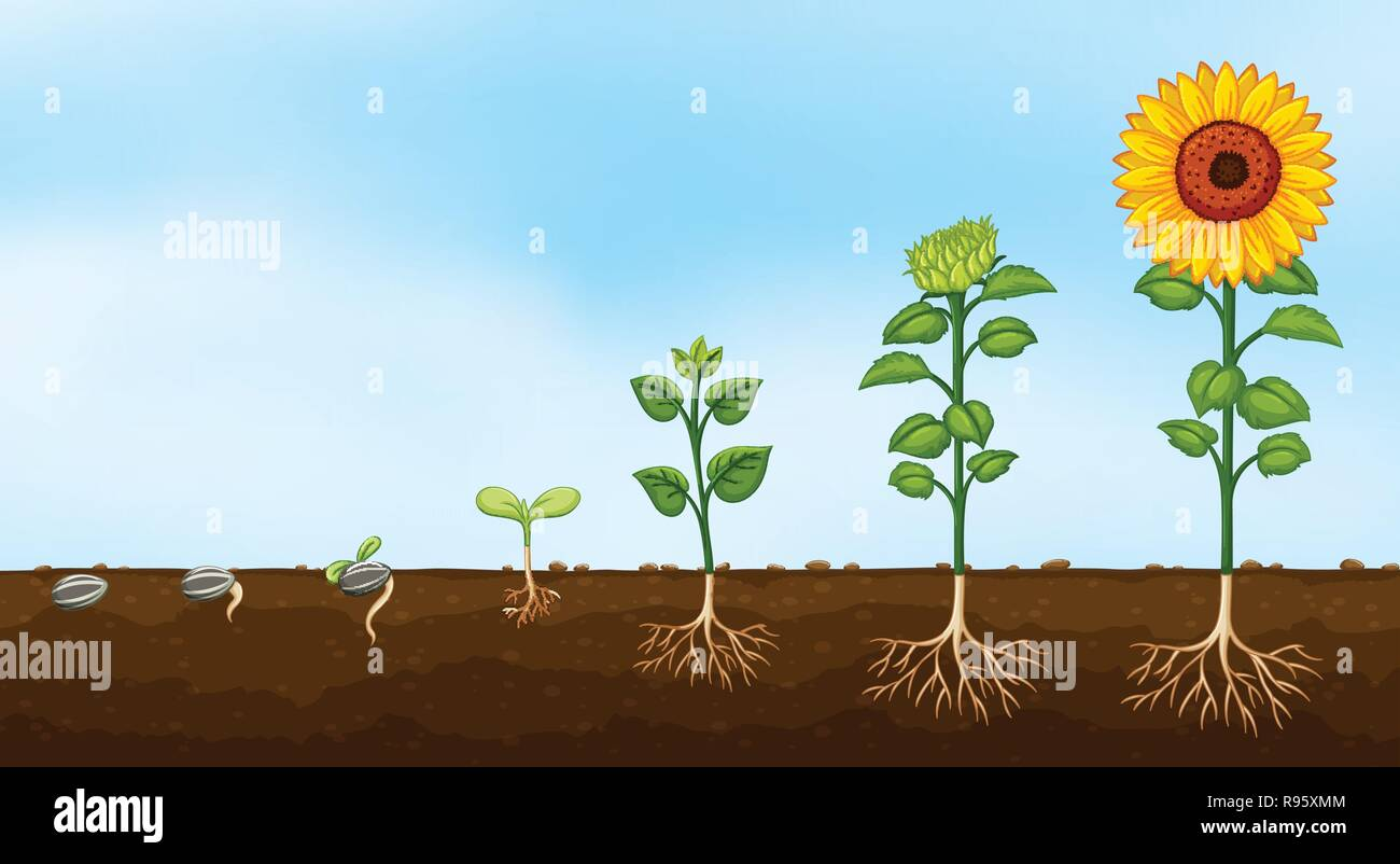 Diagram Of Plant Growth Stages Illustration Stock Vector
