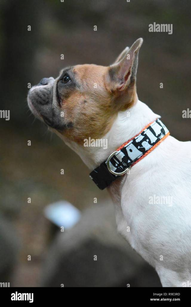 profile view of a red pied french bulldog with spooky ghost