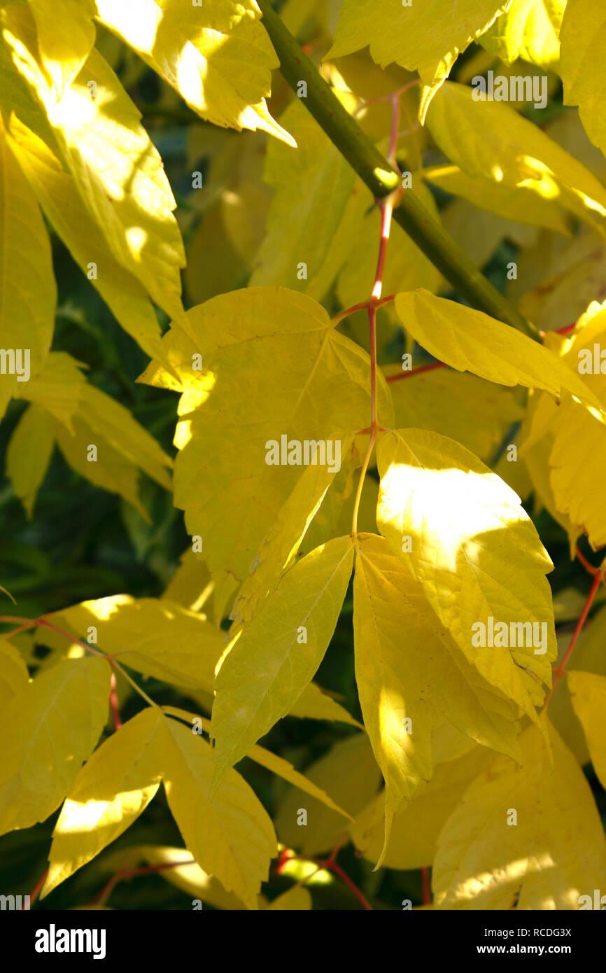 Cornus Sericea Stock Photos Cornus Sericea Stock Images Alamy
