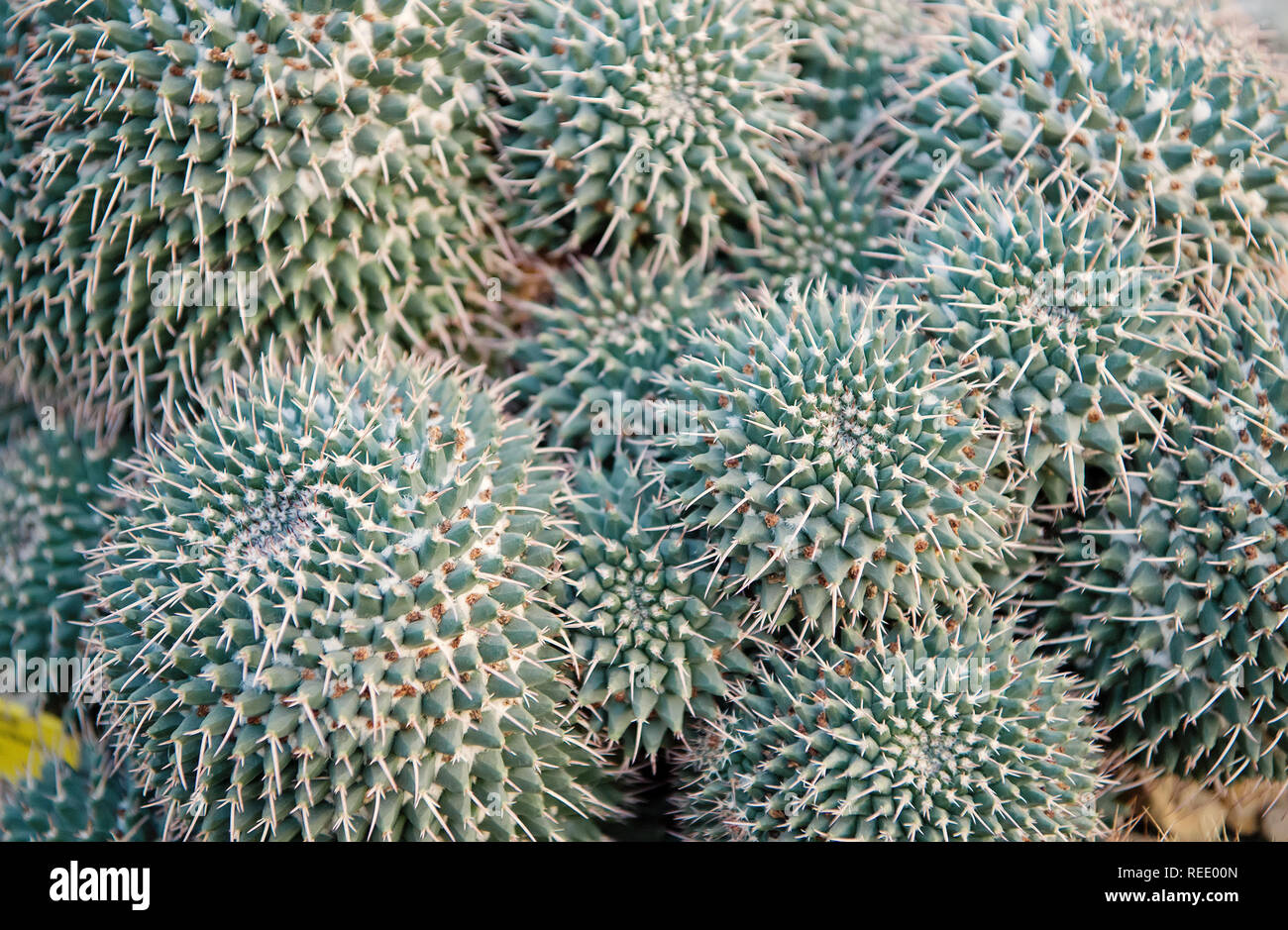 Cactus Flower Of Big Green Plant With Spiky Thorns As Natural