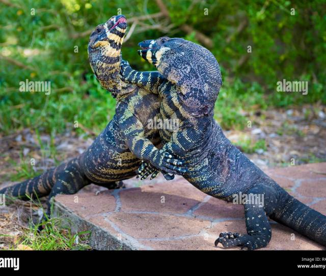 Two Lace Goannas Australian Monitor Lizards Fighting Ferociously The Goanna Features Prominently In Aboriginal