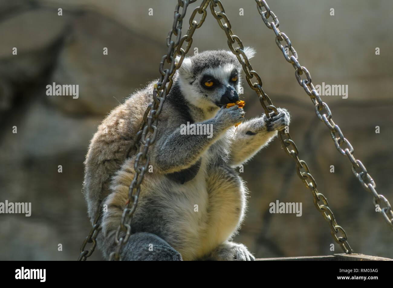 L Is For Lemur Stock Photos Amp L Is For Lemur Stock Images