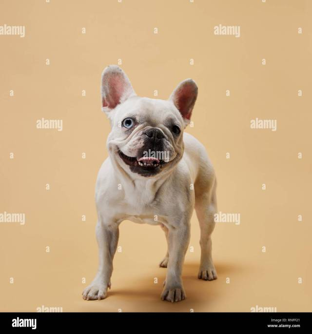 white french bulldog with dark nose and mouth on beige