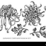 Japanese Chrysanthemum High Resolution Stock Photography And Images Alamy