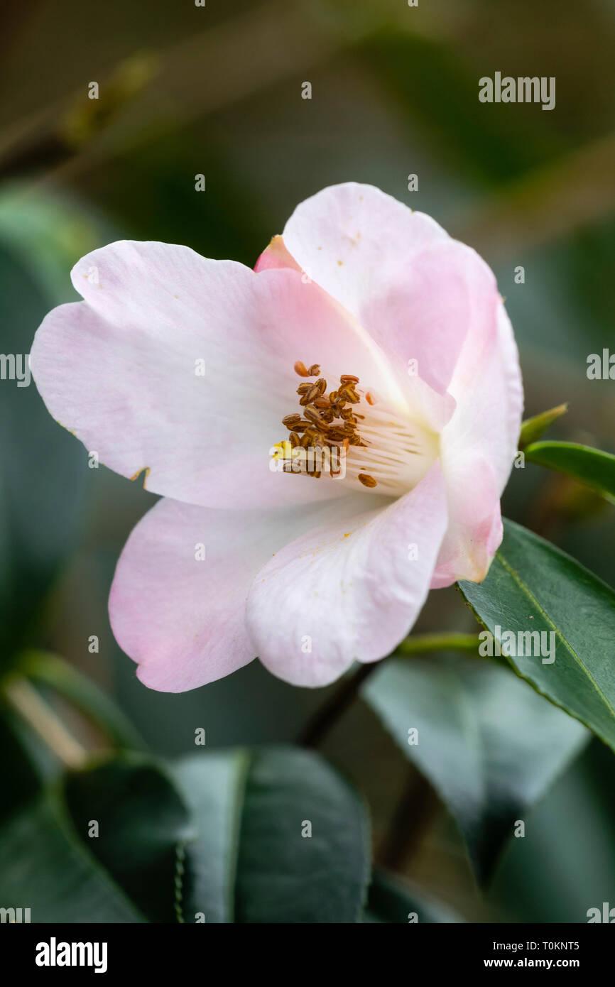 Single Pink Camellia Stock Photos Single Pink Camellia Stock