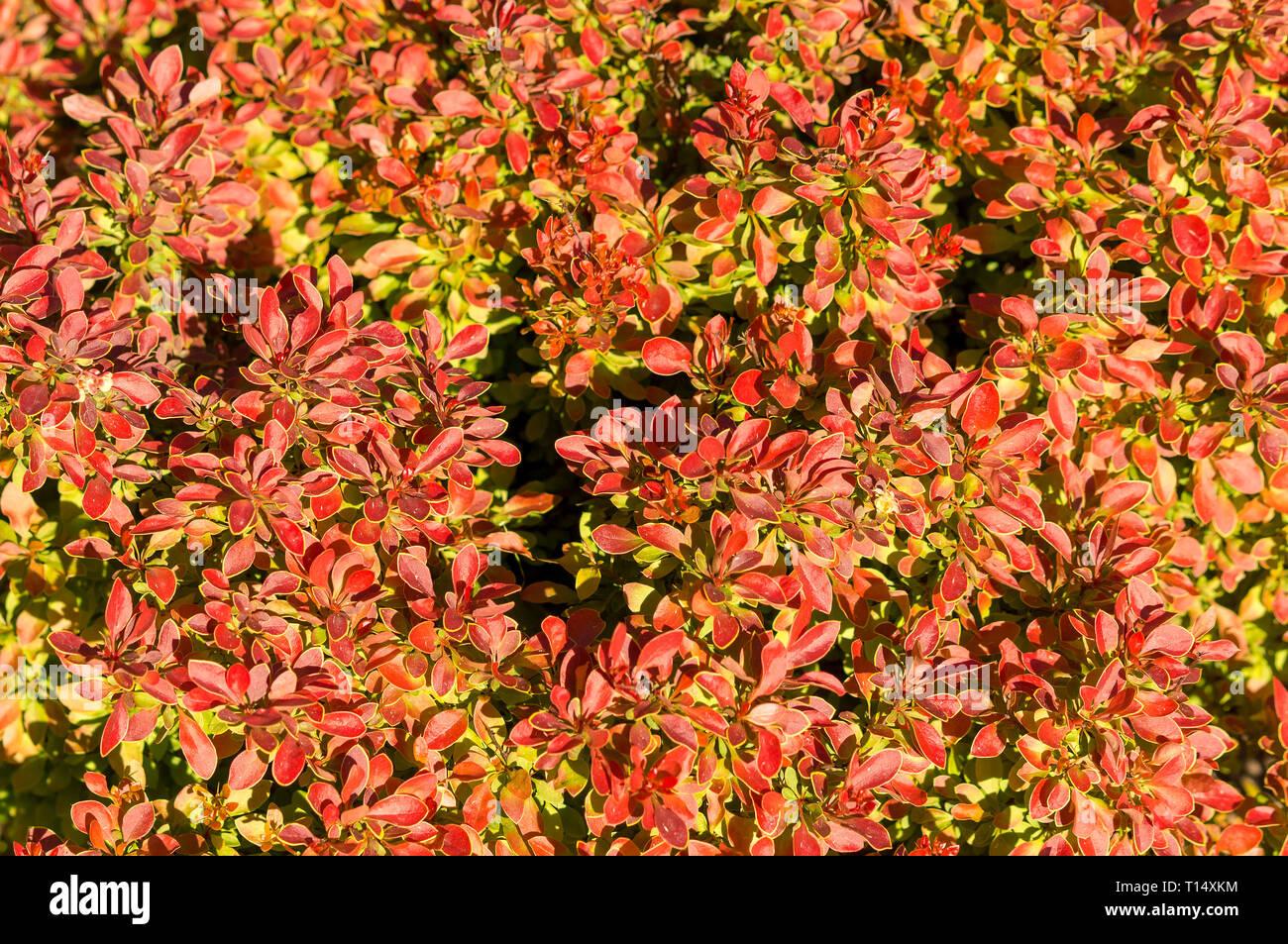 Berberis Thunbergii Flower Stock Photos Berberis Thunbergii