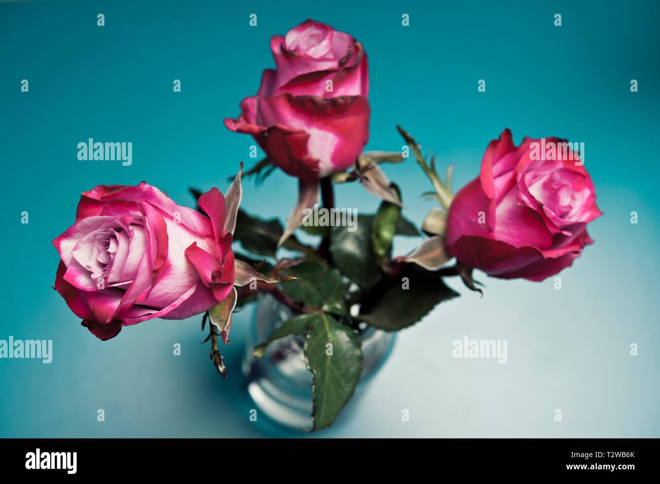 Tea Roses Stock Photos Tea Roses Stock Images Alamy