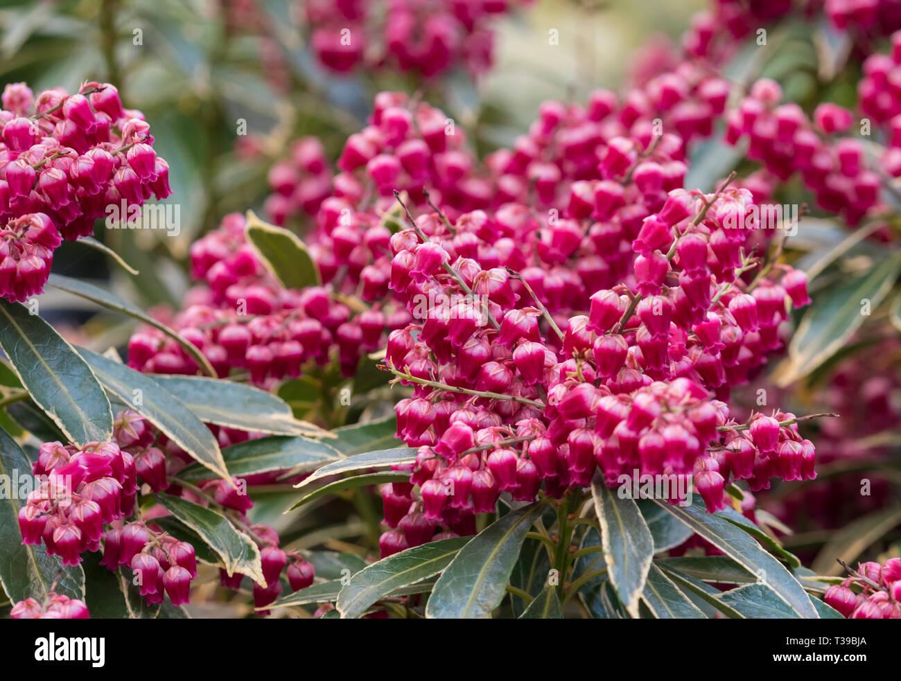 Pieris Shrub Stock Photos Pieris Shrub Stock Images Alamy