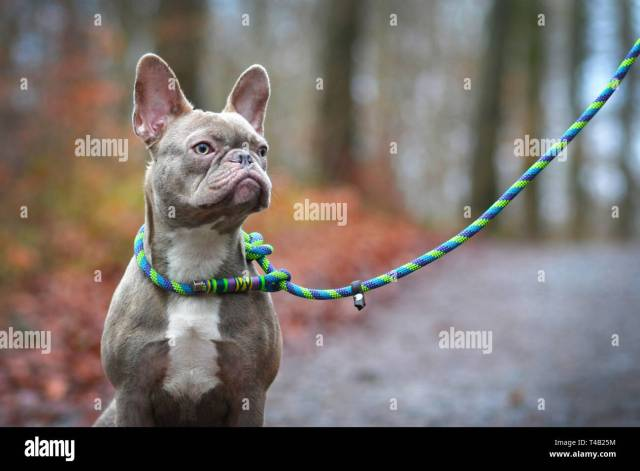 beautiful rare colored lilac brindle female french bulldog dog with