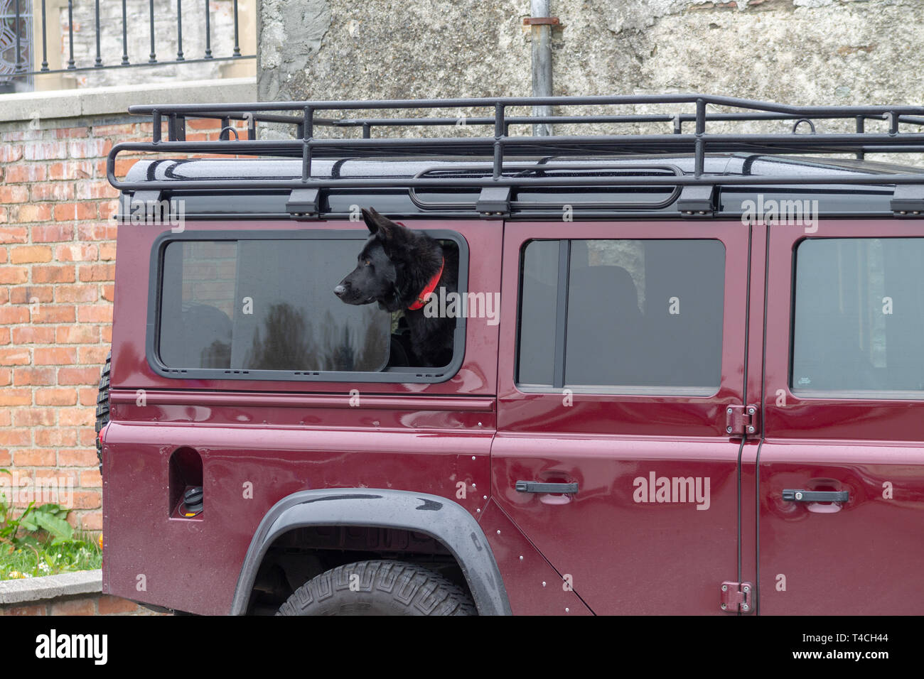 https www alamy com black alsatian or gsd german shepherd dog looking out the window of a land rover defender image243680644 html
